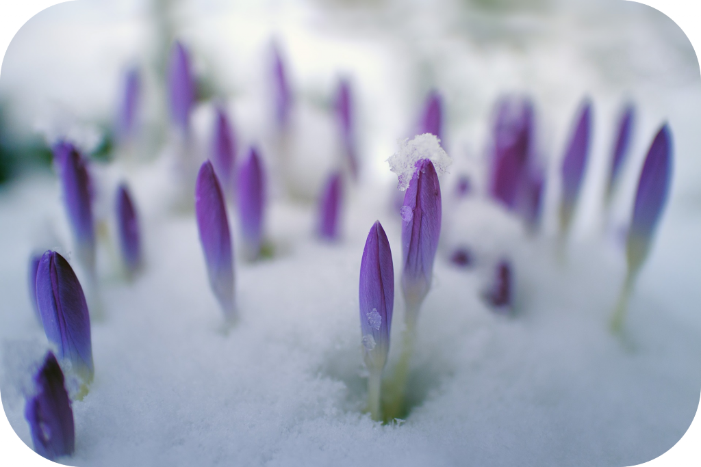 Purple flowers, flower buds, snow